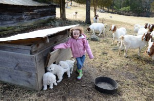 Ara and goats