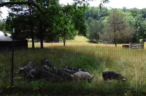 pig pasture
