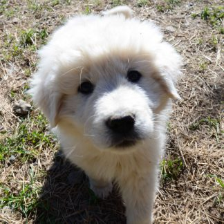 Maremma Livestock Guard Dogs