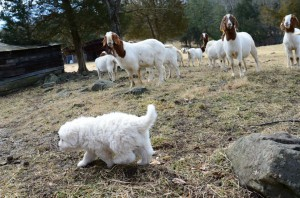 Puppy and goats
