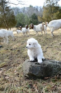 Puppy guarding his goats